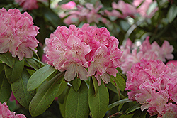 Holden Rhododendron (Rhododendron 'Holden') at Stauffers Of Kissel Hill