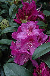 Azurro Rhododendron (Rhododendron 'Azurro') at Stauffers Of Kissel Hill
