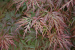 Orangeola Cutleaf Japanese Maple (Acer palmatum 'Orangeola') at Stauffers Of Kissel Hill