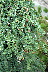 Weeping White Spruce (Picea glauca 'Pendula') at Stauffers Of Kissel Hill