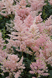 Peach Blossom Astilbe (Astilbe x rosea 'Peach Blossom') at Stauffers Of Kissel Hill