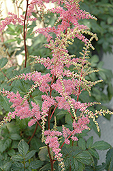 Bressingham Beauty Astilbe (Astilbe x arendsii 'Bressingham Beauty') at Stauffers Of Kissel Hill