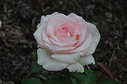 Moonstone Rose (Rosa 'Moonstone') at Stauffers Of Kissel Hill