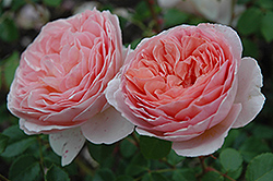 Abraham Darby Rose (Rosa 'Abraham Darby') at Stauffers Of Kissel Hill