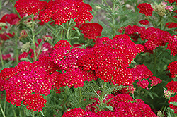 Pomegranate Yarrow (Achillea millefolium 'Pomegranate') at Stauffers Of Kissel Hill