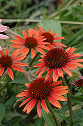 Big Sky Sundown Coneflower (Echinacea 'Big Sky Sundown') at Stauffers Of Kissel Hill