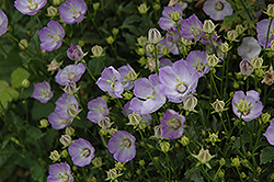 Samantha Bellflower (Campanula 'Samantha') at Stauffers Of Kissel Hill