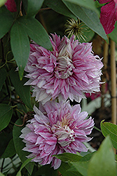 Josephine Clematis (Clematis 'Josephine') at Stauffers Of Kissel Hill
