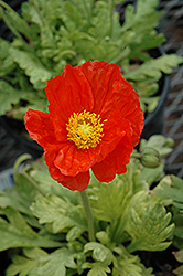 Garden Gnome Poppy (Papaver nudicaule 'Garden Gnome') at Stauffers Of Kissel Hill