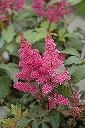 Elizabeth Bloom Astilbe (Astilbe x arendsii 'Elizabeth Bloom') at Stauffers Of Kissel Hill