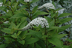 Gooseneck Loosestrife (Lysimachia clethroides) at Stauffers Of Kissel Hill