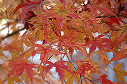 Butterfly Variegated Japanese Maple (Acer palmatum 'Butterfly') at Stauffers Of Kissel Hill
