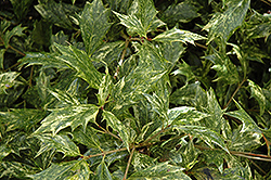 Variegated False Holly (Osmanthus heterophyllus 'Goshiki') at Stauffers Of Kissel Hill