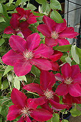 Rebecca Clematis (Clematis 'Rebecca') at Stauffers Of Kissel Hill