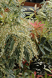 Flaming Silver Japanese Pieris (Pieris japonica 'Flaming Silver') at Stauffers Of Kissel Hill