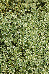 Variegated Boxwood (Buxus sempervirens 'Elegantissima') at Stauffers Of Kissel Hill