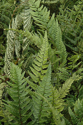 Korean Rock Fern (Polystichum tsus-simense) at Stauffers Of Kissel Hill