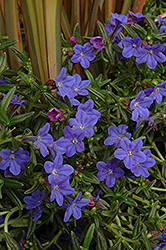 Grace Ward Lithodora (Lithodora 'Grace Ward') at Stauffers Of Kissel Hill