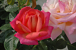 Chicago Peace Rose (Rosa 'Chicago Peace') at Stauffers Of Kissel Hill
