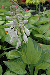Paradigm Hosta (Hosta 'Paradigm') at Stauffers Of Kissel Hill