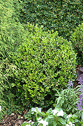 Winter Gem Boxwood (Buxus microphylla 'Winter Gem') at Stauffers Of Kissel Hill