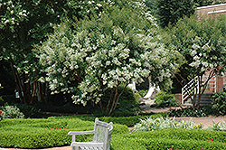 Natchez Crapemyrtle (Lagerstroemia 'Natchez') at Stauffers Of Kissel Hill