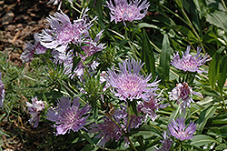 Blue Danube Aster (Stokesia laevis 'Blue Danube') at Stauffers Of Kissel Hill