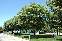 Village Green Zelkova (Zelkova serrata 'Village Green') at Stauffers Of Kissel Hill