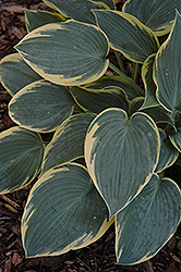 First Frost Hosta (Hosta 'First Frost') at Stauffers Of Kissel Hill