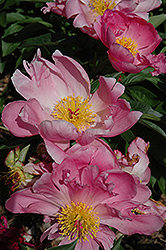 Pink Dawn Peony (Paeonia 'Pink Dawn') at Stauffers Of Kissel Hill
