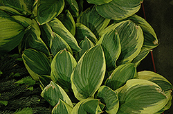 Blazing Saddles Hosta (Hosta 'Blazing Saddles') at Stauffers Of Kissel Hill