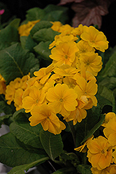 Supernova Golden Yellow Primrose (Primula 'Supernova Golden Yellow') at Stauffers Of Kissel Hill