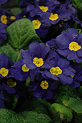 Supernova Blue Primrose (Primula 'Supernova Blue') at Stauffers Of Kissel Hill