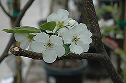 Hosui Asian Pear (Pyrus pyrifolia 'Hosui') at Stauffers Of Kissel Hill