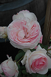 Eden® Climber Rose (Rosa 'Meiviolin') at Stauffers Of Kissel Hill