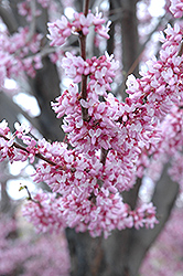 Eastern Redbud (Cercis canadensis) at Stauffers Of Kissel Hill