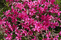 Scarlet Flame Moss Phlox (Phlox subulata 'Scarlet Flame') at Stauffers Of Kissel Hill