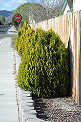 Berkman's Gold Arborvitae (Thuja orientalis 'Berkman's Gold') at Stauffers Of Kissel Hill