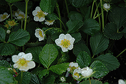 Seascape Strawberry (Fragaria 'Seascape') at Stauffers Of Kissel Hill