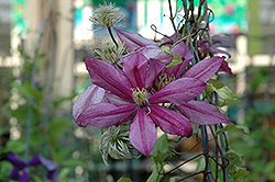 Liberation Clematis (Clematis 'Liberation') at Stauffers Of Kissel Hill