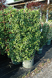Manhattan Spreading Euonymus (Euonymus kiautschovicus 'Manhattan') at Stauffers Of Kissel Hill