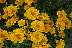 Jethro Tull Tickseed (Coreopsis 'Jethro Tull') at Stauffers Of Kissel Hill