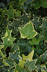 Gold Child Ivy (Hedera helix 'Gold Child') at Stauffers Of Kissel Hill