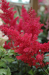 Montgomery Japanese Astilbe (Astilbe japonica 'Montgomery') at Stauffers Of Kissel Hill