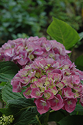 Forever And Ever Blue Heaven Hydrangea (Hydrangea macrophylla 'Forever And Ever Blue Heaven') at Stauffers Of Kissel Hill
