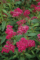 Neon Flash Spirea (Spiraea japonica 'Neon Flash') at Stauffers Of Kissel Hill