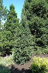 Columnar Norway Spruce (Picea abies 'Cupressina') at Stauffers Of Kissel Hill