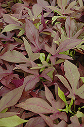 Sweet Caroline Bronze Sweet Potato Vine (Ipomoea batatas 'Sweet Caroline Bronze') at Stauffers Of Kissel Hill