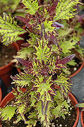 Stained Glassworks Witch Doctor Coleus (Solenostemon scutellarioides 'Witch Doctor') at Stauffers Of Kissel Hill