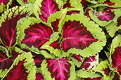 Kong Rose Coleus (Solenostemon scutellarioides 'Kong Rose') at Stauffers Of Kissel Hill